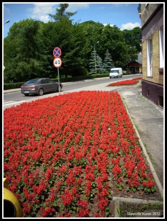 Szprotawa - kwiaty