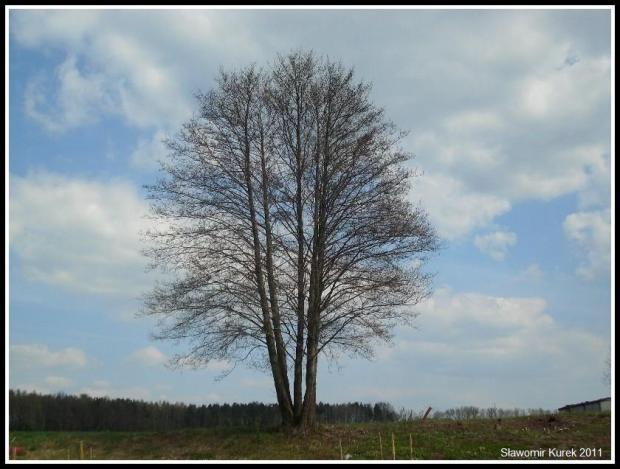Machów - samotne drzewo