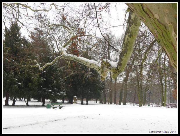 Żagań - platan w parku 2