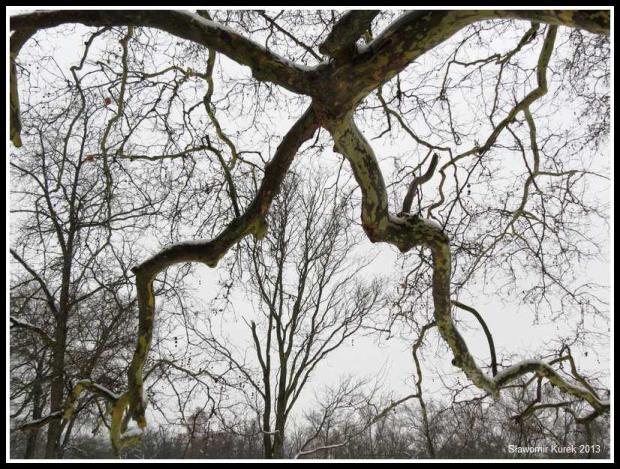 Żagań - platan w parku 4