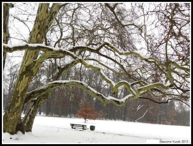Żagań - platan w parku 3