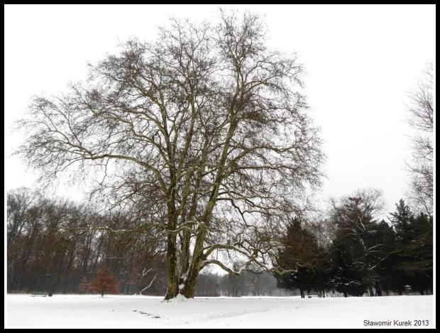 Żagań - platan w parku 5
