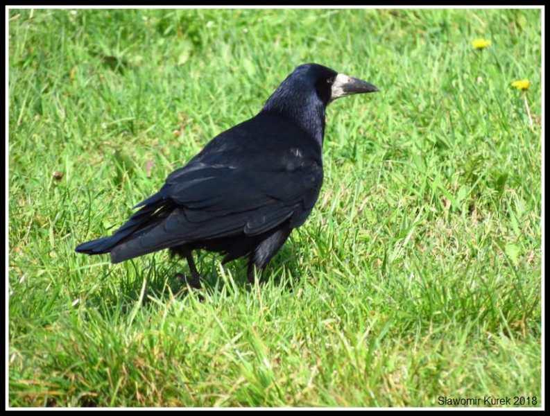 Gostynin - ptaki 3