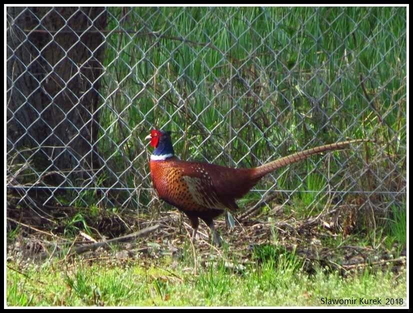 Gostynin - ptaki 1